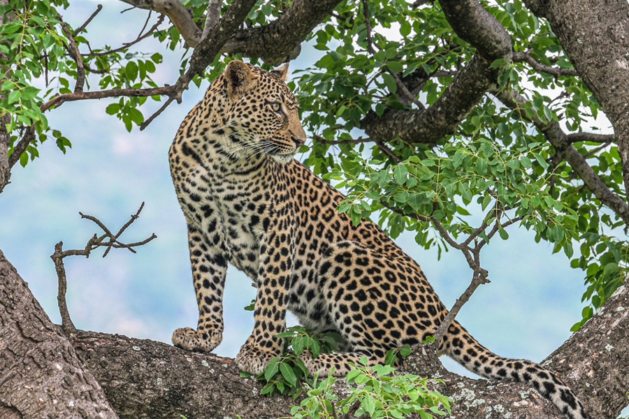 Spotted during the 2019 Alfred Dunhill Championship – the majestic animal after which Leopard Creek is named.
