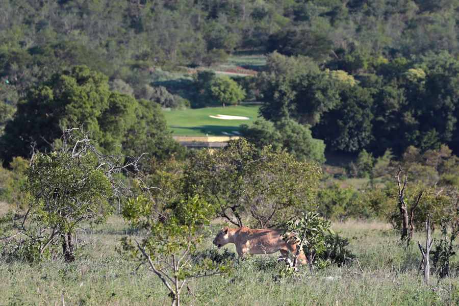 A lioness stalks her prey in the Kruger National Park, with Leopard Creek's 13th green in the background.